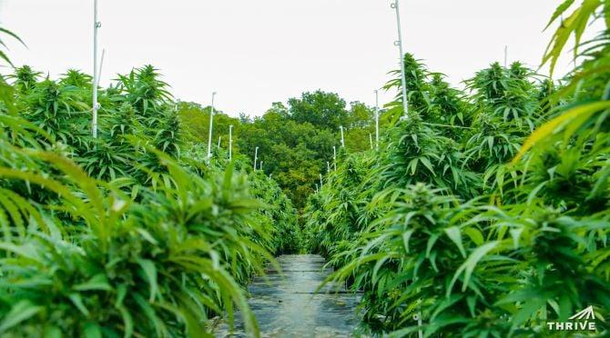 Thrive Cannabis 1